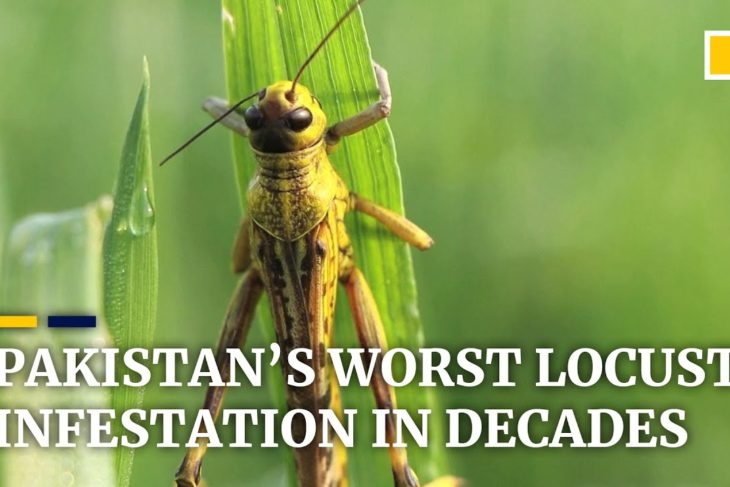 Locust invasion devastates crops as Pakistan suffers worst infestation in two decades
